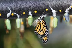 Monarch Butterfly Chrysalis. Soft green color chrysalis and a new Monarch butterfly emerging royalty free stock photography