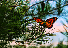 Free Monarch Butterfly Close-Up Stock Photos - 38695653