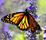 Monarch Butterfly. Close-up of a Monarch Butterfly feeding on nectar royalty free stock images