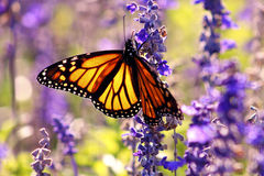 Monarch Butterfly. Close-up of a Monarch Butterfly feeds upon nectar stock image