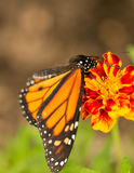 Monarch butterfly close up Stock Images