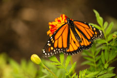 Monarch butterfly close up Royalty Free Stock Images