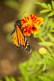Monarch butterfly close up Stock Photos