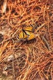 Monarch butterfly close up. Butterflies in the forest. beautiful scenary in the nature. Mexico Butterfly sanctuaries royalty free stock image