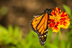 Monarch butterfly close up Royalty Free Stock Photos