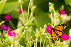Monarch butterfly close up Stock Image