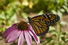 Monarch butterfly close up profile on Echinacea flower Royalty Free Stock Photo