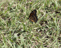 Monarch Butterfly. Close up of a monarch butterfly on a spring lawn stock photos
