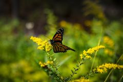 Monarch butterfly close up on a yellow flower. Which can fly over thoudands miles stock photos