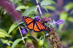 Monarch Butterfly Closeup. Spring in the Garden. Monarch Butterfly on Violet Flower. Insects Photography Collection Stock Image