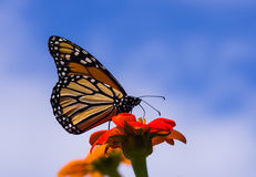 Monarch Butterfly Closeup Royalty Free Stock Images