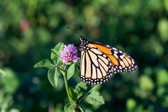 Monarch butterfly on clover Royalty Free Stock Image