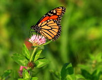 Monarch Butterfly. In clover field Royalty Free Stock Photography