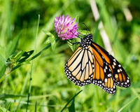 Monarch Butterfly on a Clover Flower Royalty Free Stock Photos
