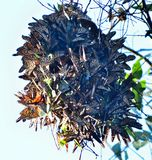 Monarch Butterfly cluster ball stock photos