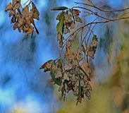 Monarch Butterfly Cluster stock photography