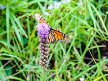 Monarch Butterfly. Collecting nectar from a beautiful purple flower Royalty Free Stock Photos