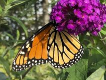 A Monarch butterfly collecting nectar Royalty Free Stock Images