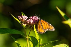 Monarch Butterfly. A monarch butterfly collects nectar from a plant stock images