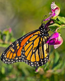 Monarch butterfly on a colorful flower. Monarch butterfly close up on a colorful purple flower royalty free stock images