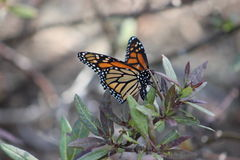 Monarch Butterfly. Colorful Monarch Butterfly Insect on branch with green leaves in garden courtyard Stock Image