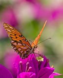 Monarch butterfly on a colorful purple flower. Front shot of a monarch butterfly on a colorful purple flower,against a blurred background Stock Image