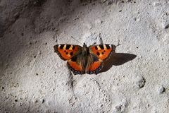 Monarch butterfly on the concrete floor. Closeup royalty free stock images