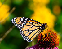 Monarch butterfly on cone flowers Stock Image