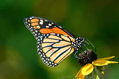 Monarch butterfly on coneflower Stock Photography