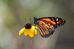Monarch butterfly on coneflower. A beautiful monarch butterfly feeding on a thin leaf coneflower stock images