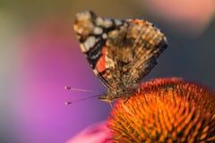 Monarch butterfly on coneflower. Monarch butterfly on Echinacea purpurea coneflower in macro stock images