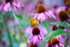 Monarch Butterfly on ConeFlowers Royalty Free Stock Photos