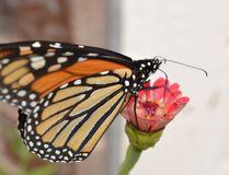 Monarch butterfly on Zinnia. A monarch butterfly on a coral zinnia flower royalty free stock images