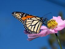 Monarch butterfly on Cosmos. Royalty Free Stock Photo