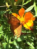 A monarch butterfly with Cosmos caudatus. The colors are interspersed between the Cosmos Caudutus and the monarch butterfly with in the garden of a house in the royalty free stock image