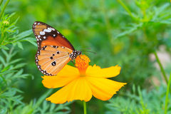 Monarch butterfly on cosmos flower Royalty Free Stock Photography