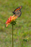 Monarch butterfly on dahlia flower Royalty Free Stock Photo
