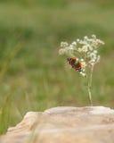 Monarch Butterfly on Daisy Fleabane Royalty Free Stock Photo
