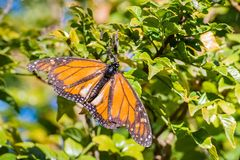 Monarch Butterfly with damaged wings. Resting in cape honeysuckle plant, Fremont, San Francisco bay, California royalty free stock photos