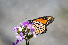 Monarch butterfly on Dame`s Rocket flower. A Monarch butterfly feeding on a pink Dame`s Rocket flower in the garden stock images