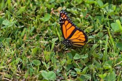 Monarch Butterfly (Danaus plexippus) Stock Photography