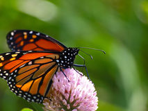 Monarch Butterfly (Danaus plexippus). An insect of amazing beauty feeding on the blossom of a Clover Stock Photo