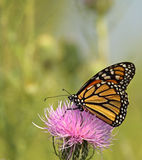 Monarch Butterfly, Danaus plexippus. Feeding on a milk thistle flower, Silybum marianum stock images