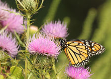 Monarch Butterfly, Danaus plexippus. Feeding on a milk thistle flower, Silybum marianum stock photography