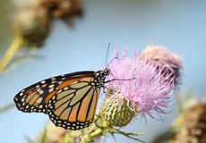 Monarch Butterfly, Danaus plexippus Royalty Free Stock Images