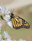 Monarch Butterfly (Danaus plexippus) royalty free stock image