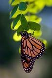 Monarch butterfly, danaus plexippus royalty free stock photo