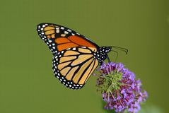 Monarch Butterfly (Danaus plexippus). A Monarch Butterfly perched on a butterfly bush blossom royalty free stock photo