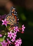 Monarch butterfly (Danaus plexippus) Royalty Free Stock Photography