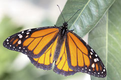 Monarch butterfly (Danaus plexippus) Royalty Free Stock Images